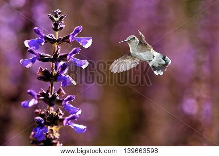 Hummingbird with lavender flowers over bright summer background