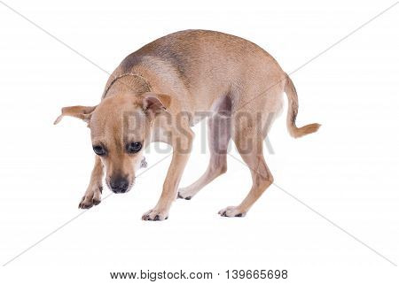Brown small Dog isolated on white background
