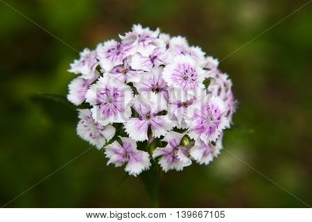 White and pink flowers of Sweet william (Dianthus barbatus) on a blurred green background