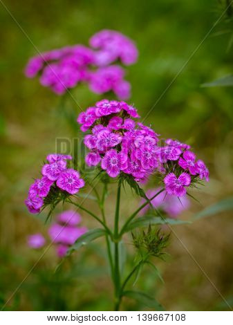 Purple flowers of Sweet william (Dianthus barbatus) on a blurred green background