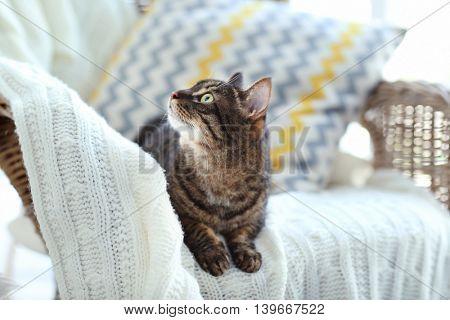 Cute grey cat on wicker chair