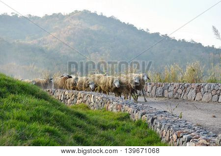 sheep run to way at the mountain view in thailand