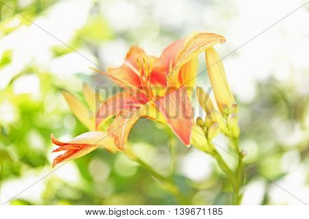 Beautiful lilies on blurred green background