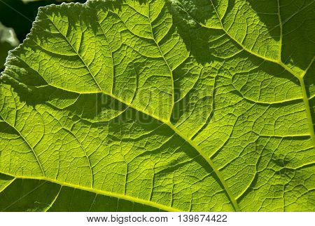 big green leaves of burdock in the road. Texture background