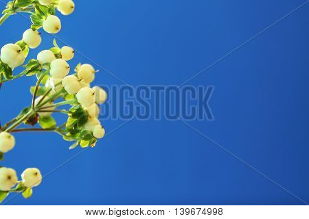 White berries for decor on blue background