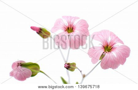 Delicate pink flowers object on white background