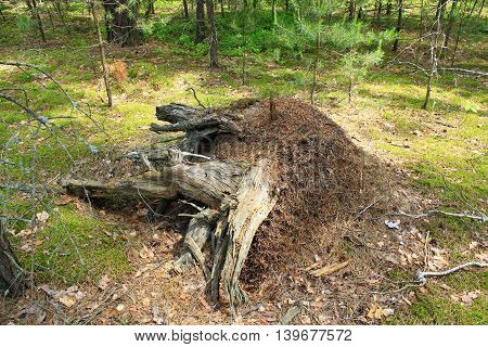 life in big ant hill and stump in the forest