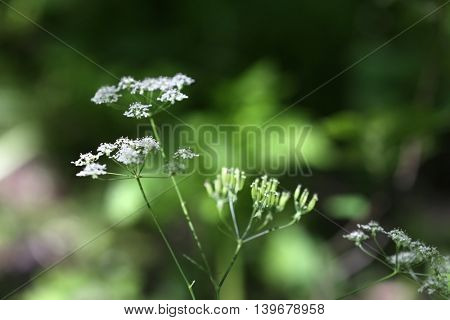 Wild flowers in a forest on blurred green background