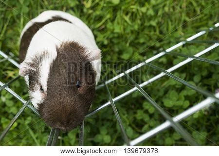 Guinea pig trying to escape from the paddock outside in the garden. Guinea pig (Cavia porcellus) is a popular household pet.