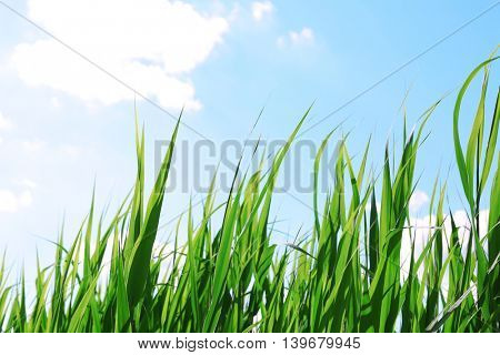 Green grass meadow on a sky background