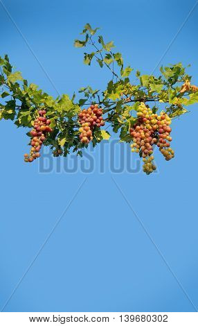 Grapes green and red ripening on a vine in sunshine against blue sky Mallorca in July.