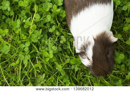 Guinea pig eating grass outside in the garden. Guinea pig (Cavia porcellus) is a popular household pet. View from above.