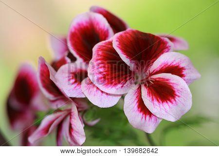 Multicolour Pelargonium Grandiflorum. French geraniums are very rich flowering pelargonium varieties