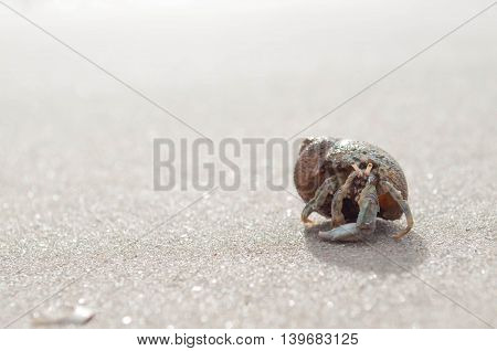 Hermit crab walking along the sea beach