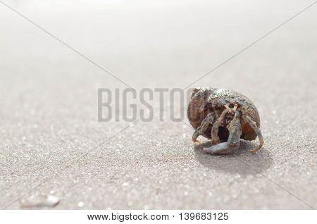 Hermit crab walking along the sea beach
