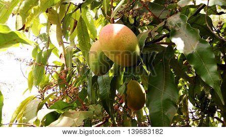 Ripen Mangos Hanging