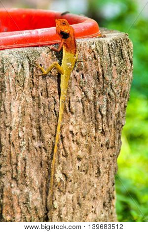 Long Lizard with red head sneering at the camera