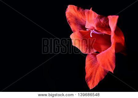 Red gladiole flower illuminated against pitch black background.