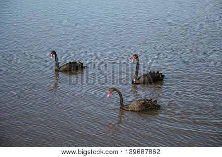 Three Australian black swans with colourful red beaks floating in peaceful Bibra Lake water in Western Australia.