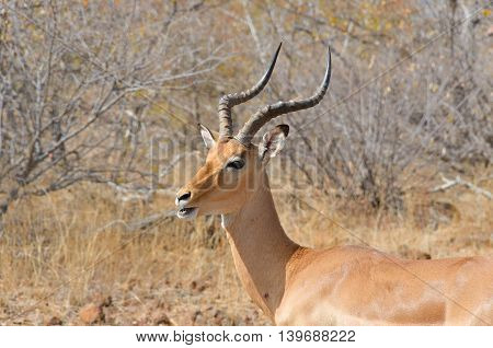 Impala antelope in Kruger National Park, animals of South Africa
