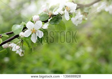background with flowering branches of apple trees in the spring after the rain / delicate flowers of spring