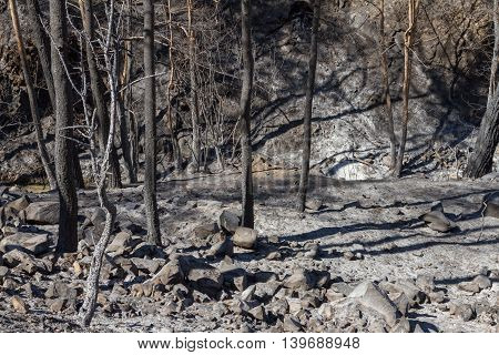 Charred Trees Following A Forest Fire In Troodos,cyprus