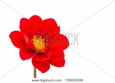 red flower dahlia isolated on white background