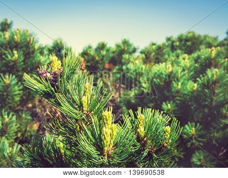 The Young Green Branch Of The Fir Tree. Kamchatka, Russia