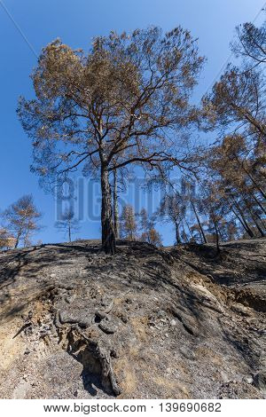 Burned Trees On Cliff After A Forest Fire- Troodos, Cyprus.