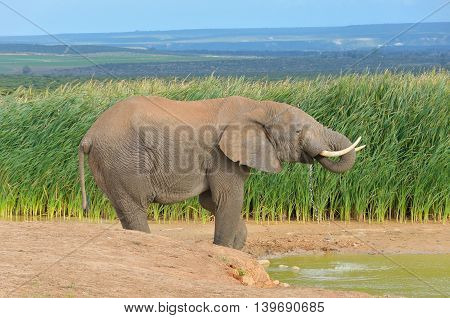 African animals, elephant near waterhole, ADDO nature reserve, South Africa