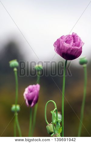 two poppy flower, lilac, growing on the field, fresh and new, can be seen near the head with maturing seeds
