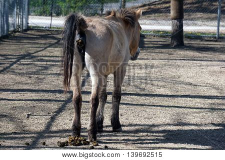 A Przewalski's wild horse (Equus ferus przewalskii) defecates onto the ground.