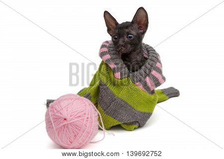 Portrait of a kitten breed Cornish Rex in a sweater