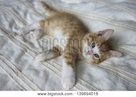 red with white kitten on a beige blanket