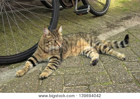 Tabby red cat laying near a bike on Amsterdam street
