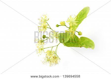 Tilia cordata (linden buds flower leaves) on white background.