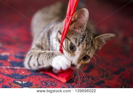 Cute Kitten Playing With A Red Lint