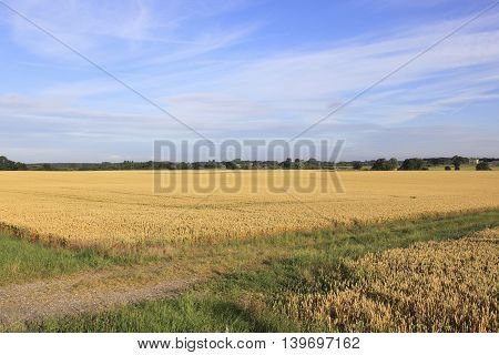 Ripening fields of wheat in the vale of York in summertime