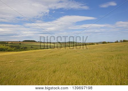 golden ripening barley with scenery in the yorkshire wolds under a blue cloudy sky in summer