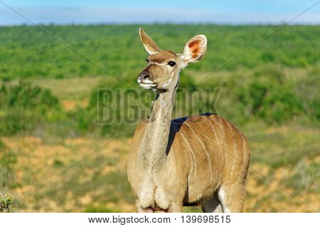 Kudu antelope in Addo National Park, animals of South Africa