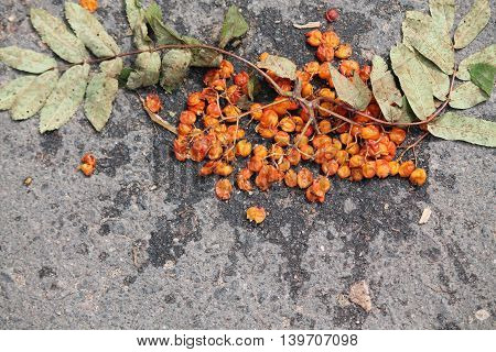 ripen cluster of wild rowan with green leaves lay smash on asphalt road