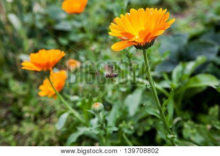 Orange marigolds in the garden with bee