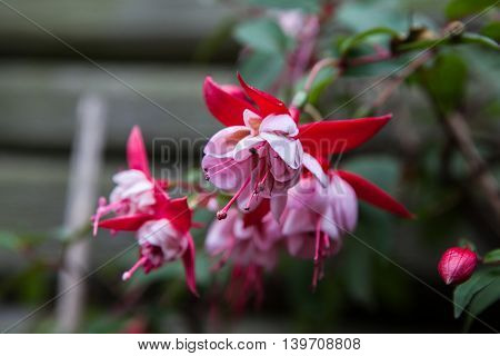 Fuchsia in the garden with wood background
