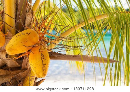 Photo Untouched Tropical Beach in Bali Island. Palm with fruits. Vertical Picture. Blurred Background. Closeup