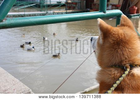 Akita Inu interestingly watching ducks in the river