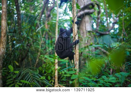 Photo Black Monkey Climbing in a Tree Jungle. Nature Background. Horizontal