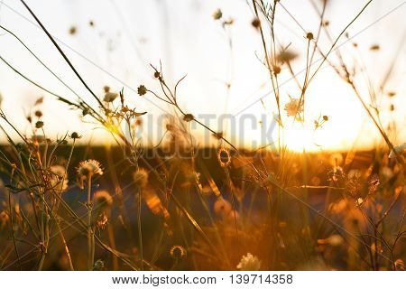 Meadow. Wild flowers and plants at sunset close