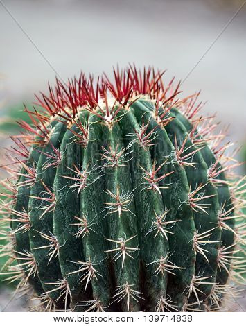 ferocactus closeup with long red needles at the ends