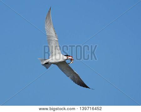 Caspian tern (Hydroprogne caspia) in flight with a fish in it beak