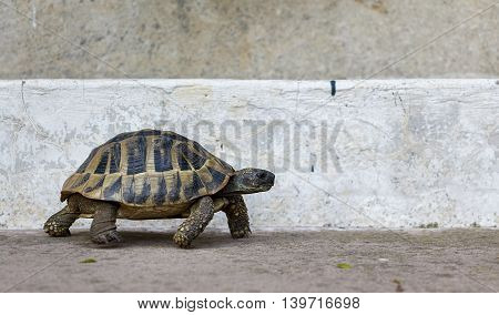 Side on shot of a tortoise walking against a concrete background